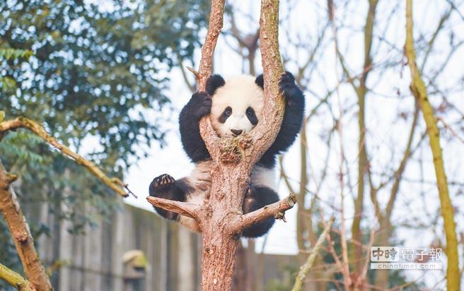 安倍訪華擬與大陸商量租借貓熊,圖為一隻貓熊在樹上玩耍。(新華社)