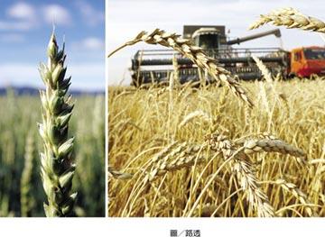 全球最大小麥出口國