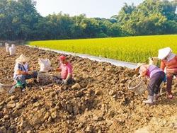 白河蓮藕開採 量少價揚