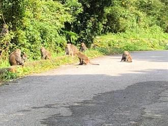獼猴群占路還逼車遶行 謝金河也受害