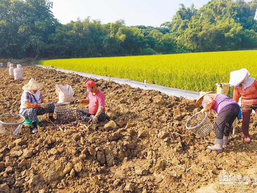 台南白河有蓮鄉之稱,目前進入蓮藕產期,農民陸續雇工開挖,今年產量減少,價格看俏,蓮藕粉每台斤約在350元到450元之間。(莊曜聰攝)