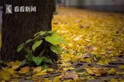 落葉不掃添風情 今年上海推29條落葉景觀道路