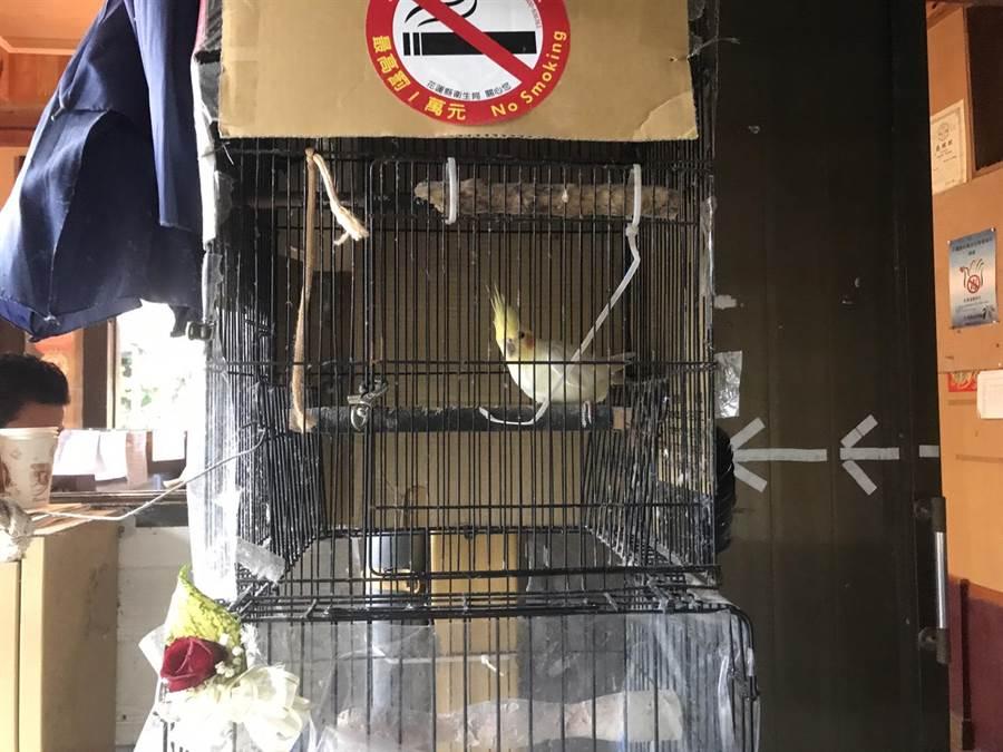 百年溫泉老店的招財鳥妞妞,是一隻玄鳳鸚鵡,優雅外觀吸引不少遊客目光。(張祈攝)