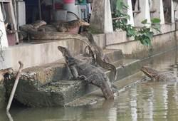 看了頭皮發麻!成群巨蜥「游河爬梯」闖肉攤搶食