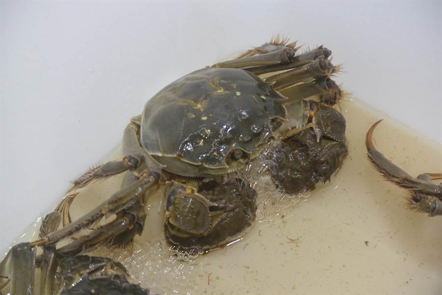 107年度大閘蟹評鑑競賽觀光產業活動,評選出優質養殖戶,圖為待評選之大閘蟹。(巫靜婷攝)