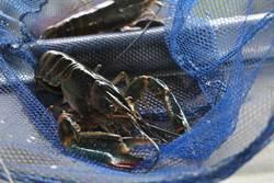 肉質美味澳洲小龍蝦崛起 1斤可賣到500元