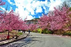 武陵農場國民賓館及露營區 開放櫻花季預定
