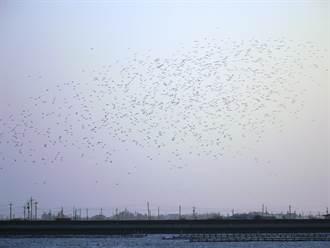 黑腹燕鷗報到 保護生態黃昏別空拍「免得驚嚇歸巢鳥」