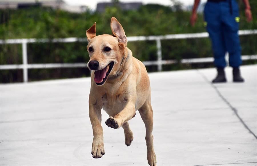 台東縣消防局搜救犬「健康」,得到最有活力獎第3名。(莊哲權攝)