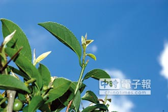 山明水秀 孕育享譽國際膨風茶