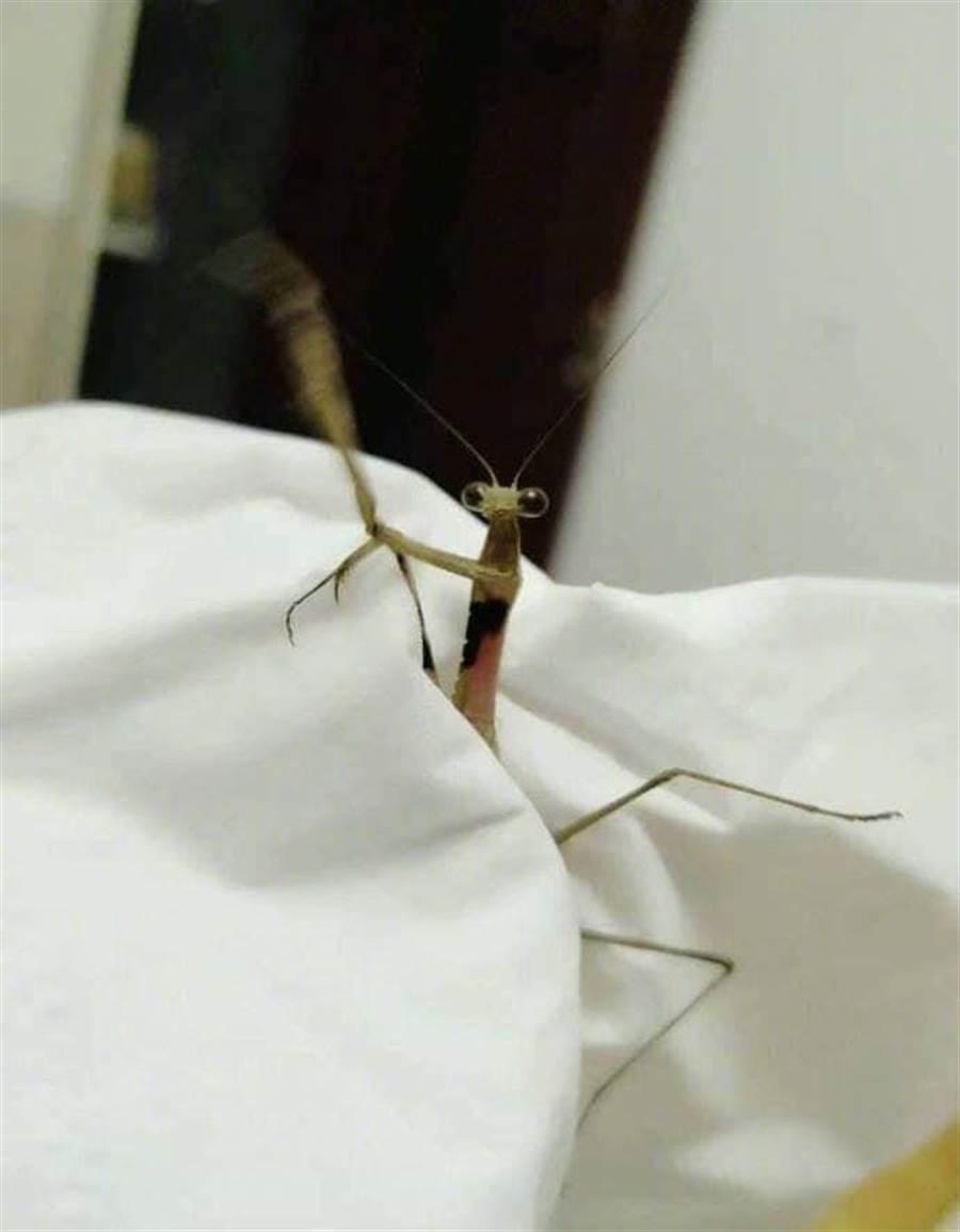 螳螂準備拔頭自殘?(圖/翻攝自爆廢公社)