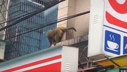 菜市場驚見野生獼猴 網:不是去取經了嗎?