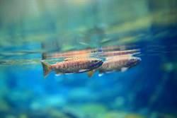 雪霸國家公園保育國寶魚有成 合歡溪放流3000尾創紀錄