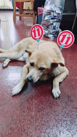 「皮董」不只是愛犬 也是議員的最佳「助選員」
