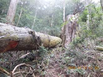 盜伐20多萬元紅檜木  5山老鼠被訴恐罰數百萬