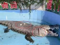 最壞示範! 為辨真假 遊客把動物園大鱷魚砸得頭破血流嬉笑拍照