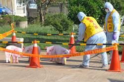 大陸「非洲豬瘟」蔓延 金門演習防疫大作戰