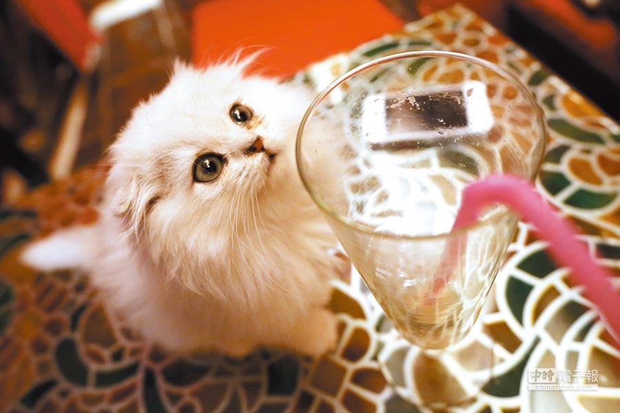 安徽合肥貓咪主題茶餐廳裡的寵物貓。(CFP)
