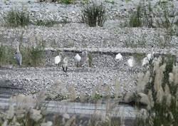 韓國來的嬌客!黑面琵鷺現身花蓮溪口
