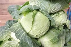高麗菜價跌 農糧署啟動外銷、加工、團購展售