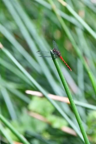 南投》冬稀蜻蛉出沒 特有種「纖紅蜻蜓」最亮眼