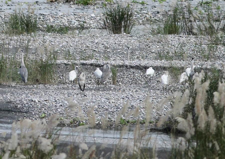 花蓮溪口近日來發現4隻稀珍保育鳥類黑面琵鷺,其中一隻雙腳帶有腳環,確認是從韓國飛來過冬的嬌客。(第九河川局提供)