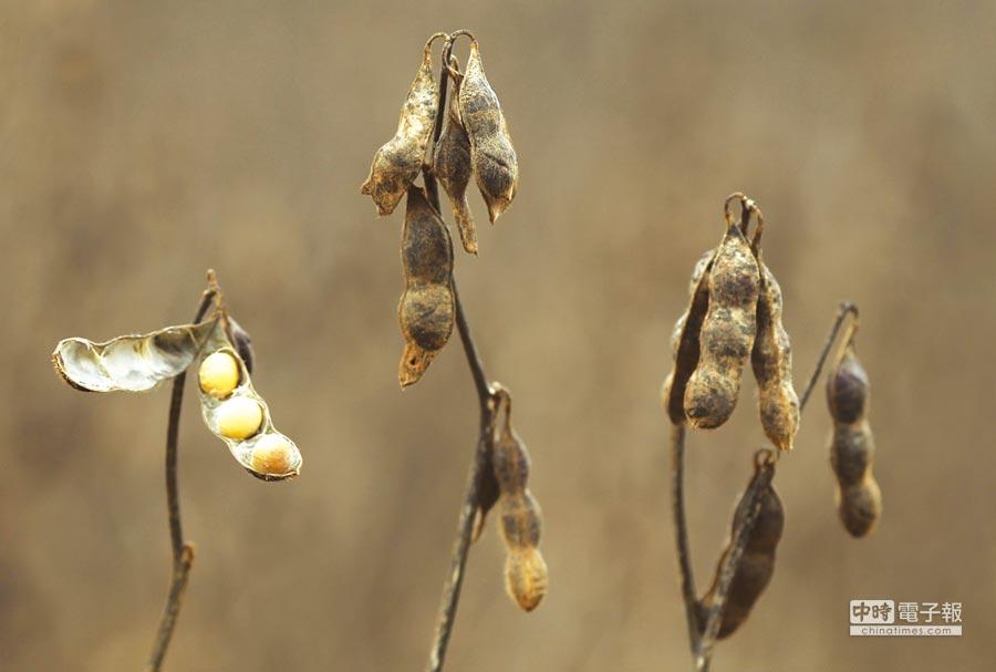 美國農民被迫砍黃豆圖╱路透