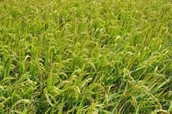 水稻的營養品 含矽資材助農藥減量、增產一成