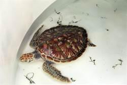 金門發現2隻保育類綠蠵龜  1死亡1搶救中