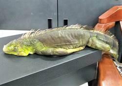綠鬣蜥入侵澎湖  縣府呼籲勿棄養