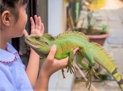 綠鬣蜥重創作物 抓一條換一盒老鷹紅豆