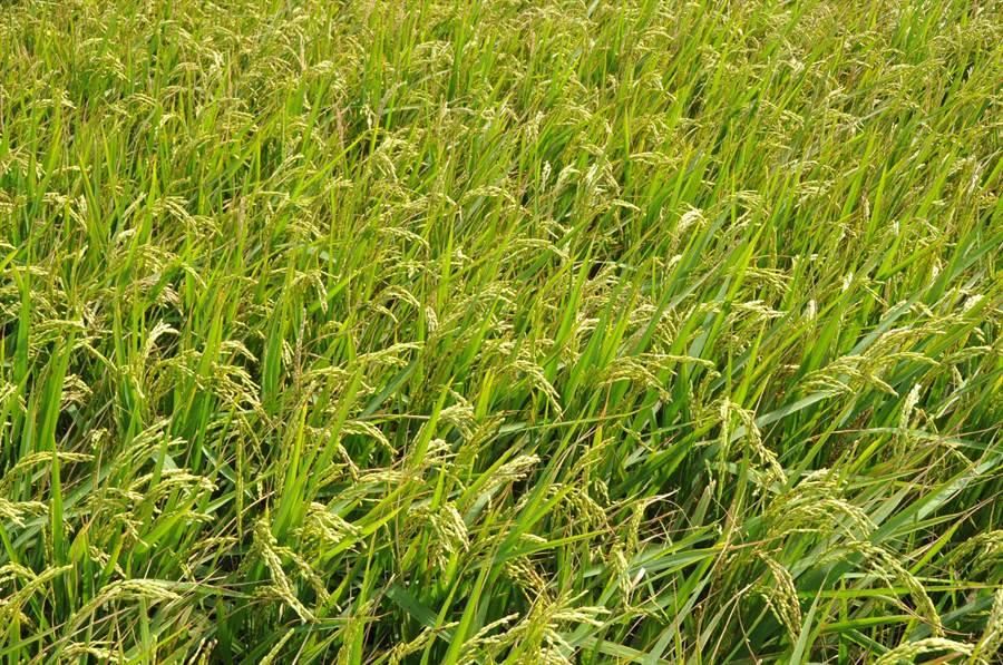 施用含矽資材,水稻生長狀況良好。(台中農改場提供)