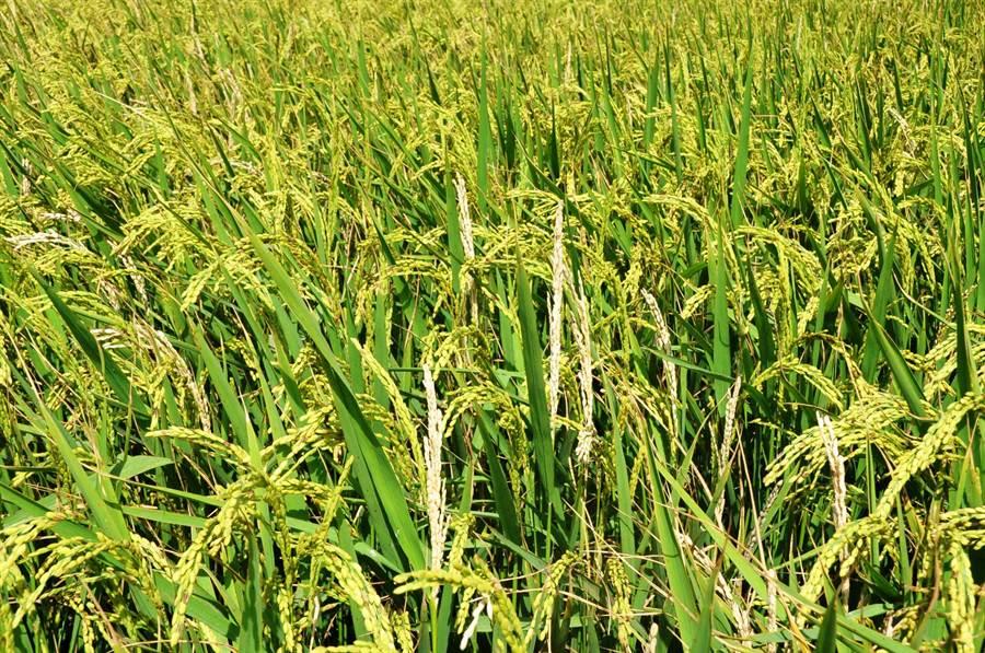 莖螟蟲致水稻產生白穗。(台中農改場提供)