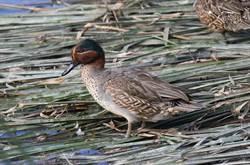 公民數鳥 五年13種度冬水鳥顯著下降
