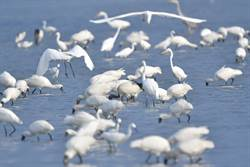 2000隻黑琵來台度冬 邀民眾走訪濕地賞黑琵
