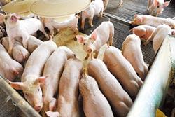 豬瘟危機再擴大 陸首現野豬感染