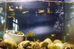 養孔雀魚紓壓 沒想到繁殖快