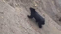 影》就在4公尺前 巡山員巧遇台灣黑熊