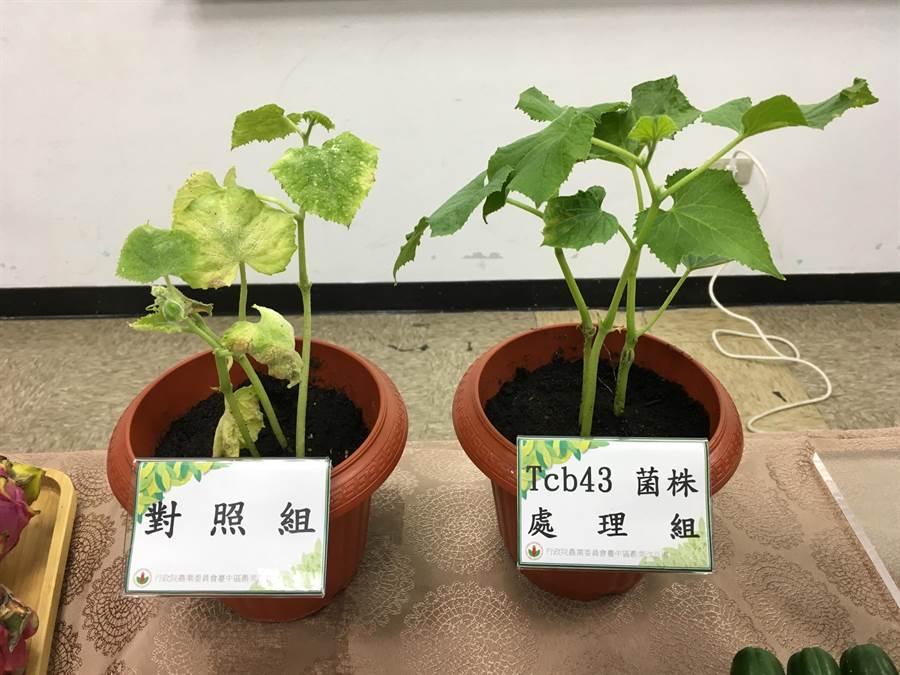 噴灑芽孢桿菌Tcb43胡瓜苗(右)與未施用組(左)對照比較。(游昇俯攝)