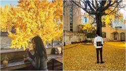 美到流淚!韓網友瘋「窗外的銀杏」整條路鋪滿金黃色地毯