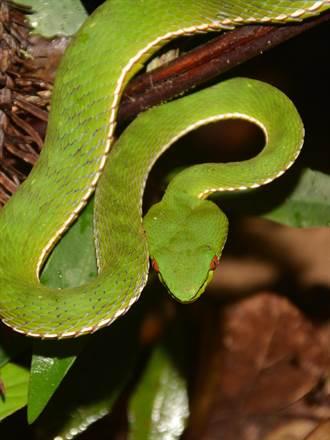初冬休眠前覓食 毒蛇活躍期