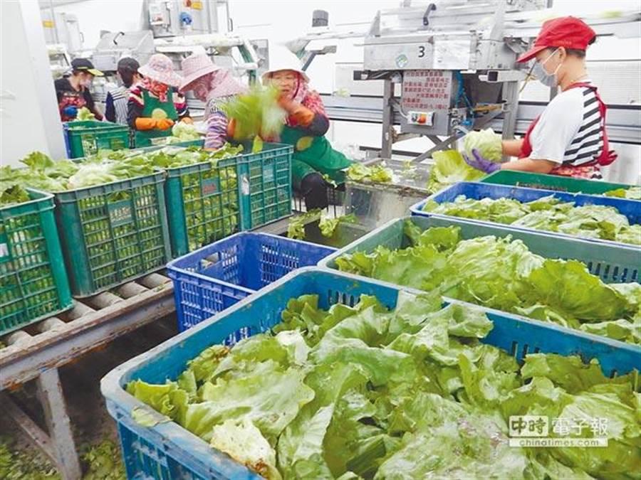 美加生菜出現汙染,消基會呼籲國內商家自清,圖為雲林縣麥寮鄉的生菜產區。(資料照/許素惠攝)