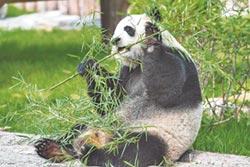 野生貓熊生存面積 需半個台北大