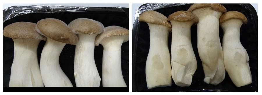 現行外銷包裝處理之蕈鮑菇,蕈傘長出新菌絲(左),手指輕微按捏蕈柄還會出現水浸狀情形(右)。(農試所提供)