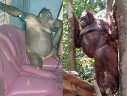 震驚! 紅毛猩猩身戴首飾被迫賣淫 每天剃毛供男人洩慾