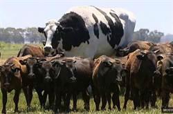 驚見比車還重巨牛「高194公分」 飼主:大到屠宰場拒殺