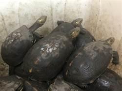 花蓮查獲大型食蛇龜養殖場 嫌辯保育後野放