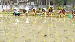 太平國小水稻收割 將辦謝天祭