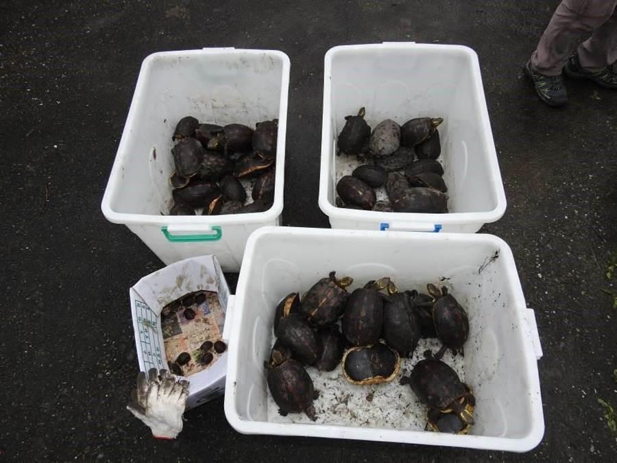 花蓮警方查獲79隻食蛇龜養殖場,數量前所未見,估計市值400多萬元。(許家寧翻攝)