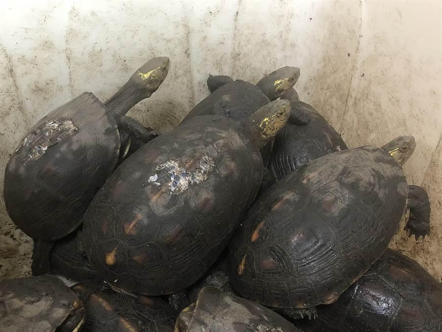 花蓮光復鄉江姓老翁違法豢養79隻大小不等食蛇龜,被依違反《動保法》送辦。(許家寧翻攝)